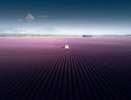Lavender_fields_of_Valensole,_2019_02